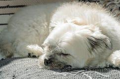 White dog sleeping on sofa Royalty Free Stock Photos