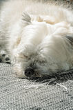 White dog sleeping on sofa Royalty Free Stock Images