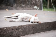 White dog sleeping Stock Image
