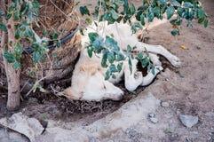White dog sleeping under a tree Stock Image