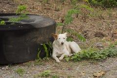 The white dog sleeps royalty free stock image