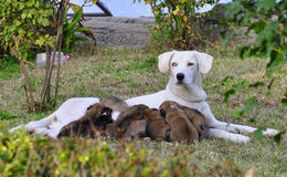 White dog with small puppies. White dog with different eyes with small puppies Royalty Free Stock Images