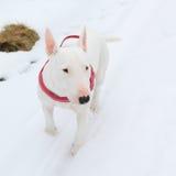 White dog on snow Royalty Free Stock Photo