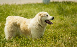 White dog standing on the ihgh green grass Royalty Free Stock Image