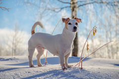 white dog standing on white snow royalty free stock images
