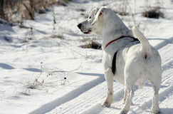 White dog stood on snow. Rear view of cute white dog stood on snow, winter scene Royalty Free Stock Images