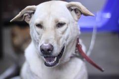 White dog  Straight face stock photo