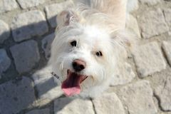 White dog on the street with tongue out. Top view royalty free stock photos