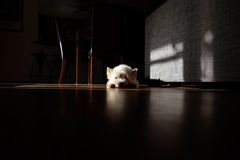 White dog sunbathing in a shadowy room Royalty Free Stock Photo
