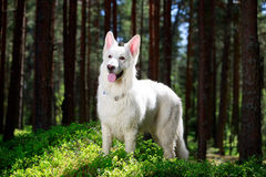White dog. White Swiss Shepherd Dog in forest Royalty Free Stock Image