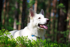 White dog. White Swiss Shepherd Dog in forest Stock Photography