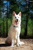 White dog Royalty Free Stock Images