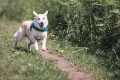White Dog With Teal Collar Running Outside Stock Photos