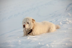 White dog at top of the mountain in wintertime Royalty Free Stock Photos