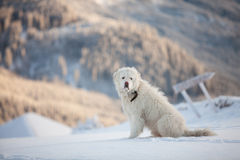 White dog at top of the mountain in wintertime Stock Photography