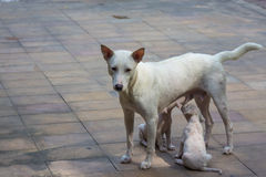 White dog and two baby. Under sun light Royalty Free Stock Photography