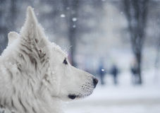 White dog under snow. White shepherd dog sitting under snow Stock Image