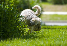 White Dog urinating on plants Stock Photo