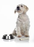 White dog waiting for food Stock Image