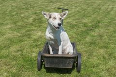 White dog waiting till master would drive this cool canine ca. Young mixed breed white dog waiting till master would drive this cool canine car - wheel barrow stock photo