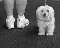 White dog on a walk. White Maltese being walked Royalty Free Stock Photo