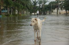 White dog walking on flood Royalty Free Stock Photos