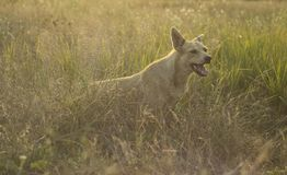 White dog walking in a meadow with field herbs royalty free stock image