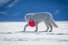 White dog walking on snow. Stock Image