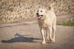 White dog walking on the street Royalty Free Stock Images