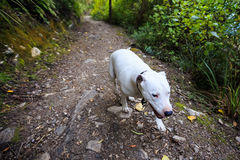 White dog walking on track Royalty Free Stock Image