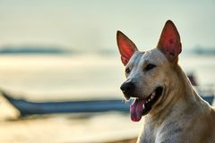 White dog walks on the beach Stock Images