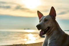 White dog walks on the beach Stock Photo