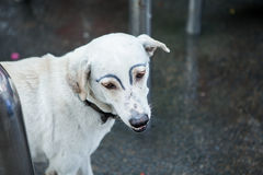 White dog was faking draw eyebrows Royalty Free Stock Image