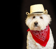 White dog wearing Cowboy attire. Royalty Free Stock Image