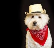 White dog wearing Cowboy attire. Royalty Free Stock Image