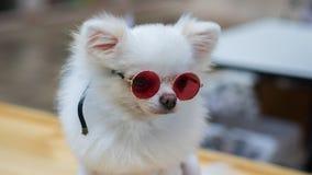 White dog wearing glasses. Fashion show Royalty Free Stock Images