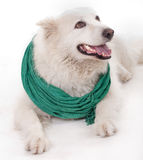 White dog wearing green Muffler scarf Stock Photos