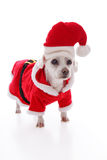 White dog wearing a red and white santa costume. Small white dog wears a red and white santa claus costume and hat at Christmas. White background Royalty Free Stock Images