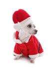 White dog wearing a santa claus suit and looking up. Cute white puppy dog wearing a santa clause suit and looking up intently.   White background Royalty Free Stock Image