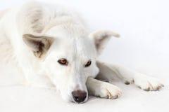White dog on white. White dog lie on white background Stock Image