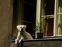 White dog on the window Stock Images