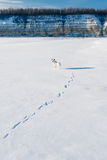 White dog in winter field Royalty Free Stock Image