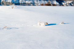 White dog in winter field Stock Photography