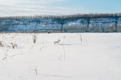 White dog in winter field Royalty Free Stock Images