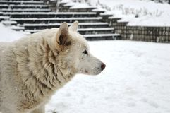 White dog in the snow royalty free stock photography