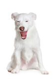 White dog yawns Royalty Free Stock Image