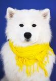 White dog. Yellow scarf, white dog, blue wall stock photos