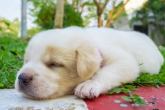 White doggy sleeping royalty free stock photo