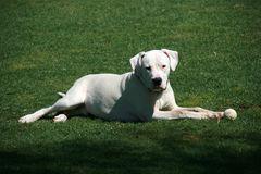 White dogo argentino dog with ball lying on green grass royalty free stock photo