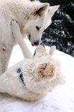 White dogs Royalty Free Stock Photography